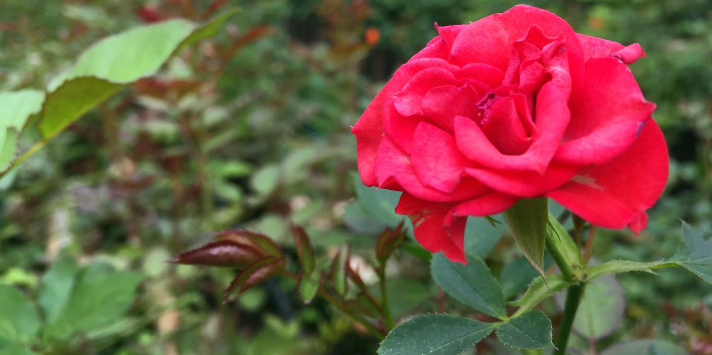 Grace Rose Farm Agrowisata Bunga Mawar Kelana Nusantara